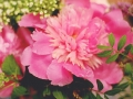 Pink the Town Peony Party 15
